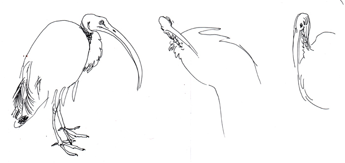 sacred ibis (2006, pen on paper, 29 x 12 cm)