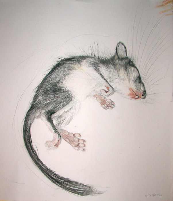 dormouse (2006, crayon and pencil on paper, 50 x 60 cm)