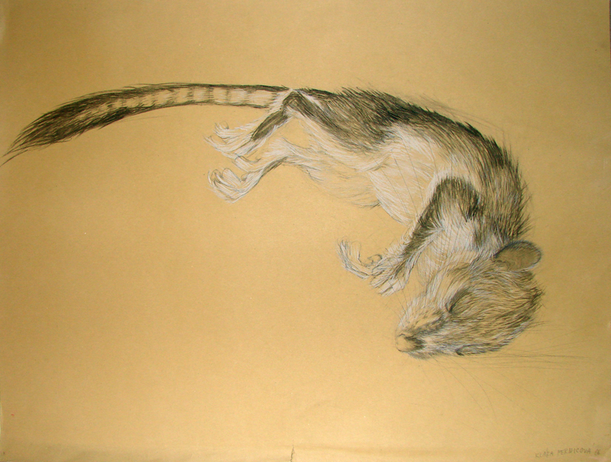 dormouse (2006, crayon and pencil on paper, 60 x 70 cm)